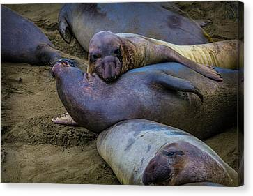 Cambria Canvas Print - Elephant Seals Fighting by Garry Gay