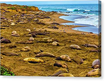 Cambria Canvas Print - Elephant Seals Near Cambria  by Garry Gay