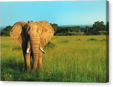 Elephant Canvas Print by Sebastian Musial