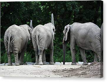 Elephant Trio Canvas Print by Karol Livote