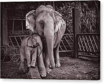 Elephants Buathong And Am Canvas Print
