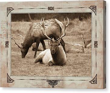 Canvas Print featuring the photograph Elk by Athala Carole Bruckner