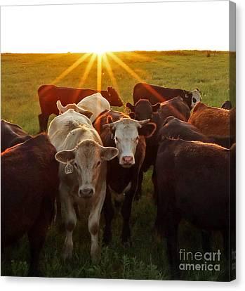 Elk County Herd Canvas Print