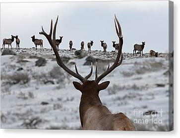 Elk Herd Canvas Print by Wildlife Fine Art