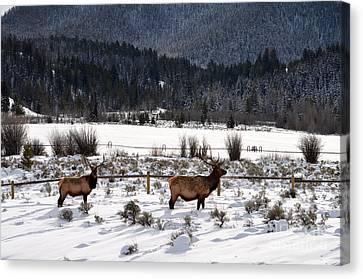 Elk In A Winter Wonderland Canvas Print