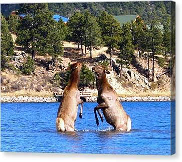 Elk In Lake Estes Canvas Print