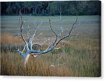 Elk-like Tree On Jekyll Island Canvas Print by Bruce Gourley
