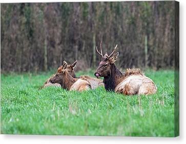 Canvas Print featuring the photograph Elk Relaxing by Paul Freidlund