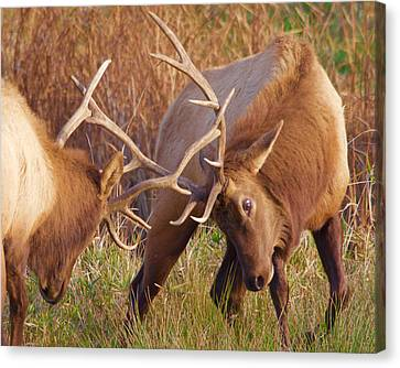 Canvas Print featuring the photograph Elk Tussle by Todd Kreuter