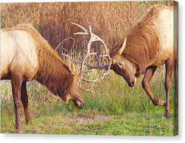 Canvas Print featuring the photograph Elk Tussle Too by Todd Kreuter