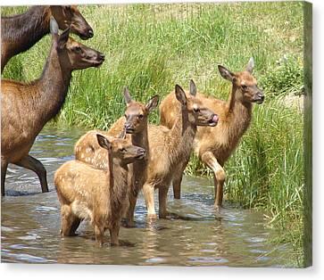 Elk Water Babies In Evergreen Colorado Canvas Print