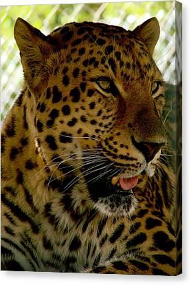 Elmira's Leopard Canvas Print by Kimberly Camacho