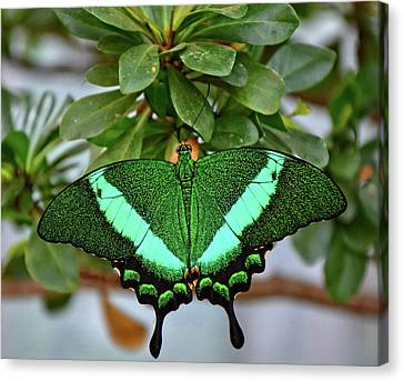 Emerald Swallowtail Butterfly Canvas Print by Ronda Ryan