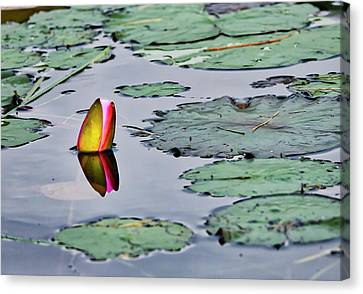 Canvas Print - Emerging Water Lily by Steven Ralser
