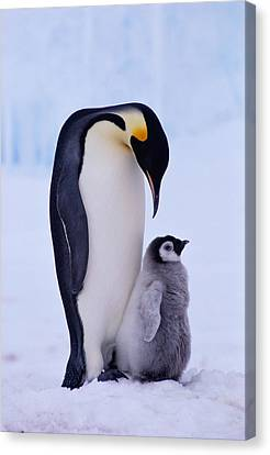 Emperor Penguin Adult With Chick Canvas Print by Kevin Schafer