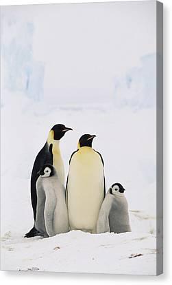 Emperor Penguin Aptenodytes Forsteri Canvas Print by Konrad Wothe