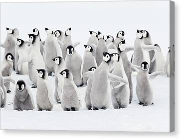 Emperor Penguins, Group Of Chicks. Canvas Print by Martin Ruegner