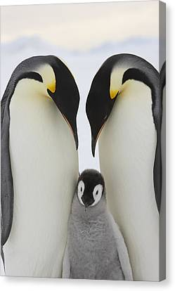 Emperor Penguins With Young Chick Canvas Print by Sue Flood