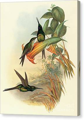 Empress Hummingbird Canvas Print by John Gould
