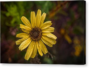 Encelia  Canvas Print by Ralph Vazquez
