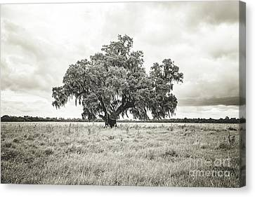 Enchanted  Oak - Sepia Toned Canvas Print