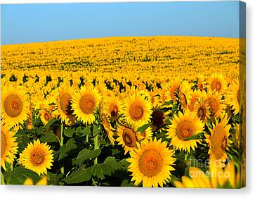 Endless Sunflowers Canvas Print by Catherine Sherman