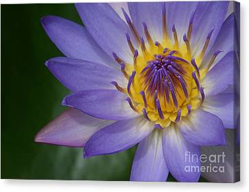 Panama Pacific Water Lily Canvas Print - Endymion by Sharon Mau