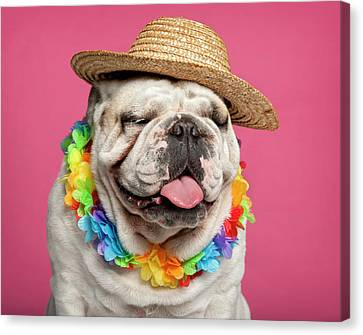 Bulldogs Canvas Print - English Bulldog (18 Months Old) by Life On White