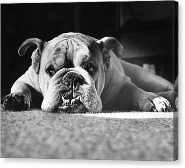 Bulldogs Canvas Print - English Bulldog by M E Browning and Photo Researchers