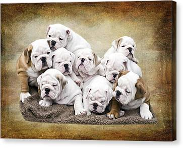 Bulldogs Canvas Print - English Bulldog Pups by Jody Trappe Photography