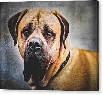 English Mastiff Dog Portrait Canvas Print by Debi Bishop
