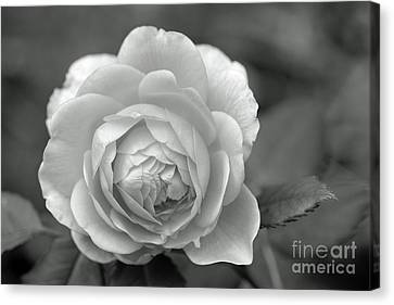 English Rose In Black And White Canvas Print