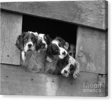 English Setter Puppies, C.1920-30s Canvas Print by H. Armstrong Roberts/ClassicStock