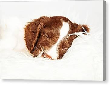 English Springer Spaniel Puppy Sleeping On Fur Canvas Print