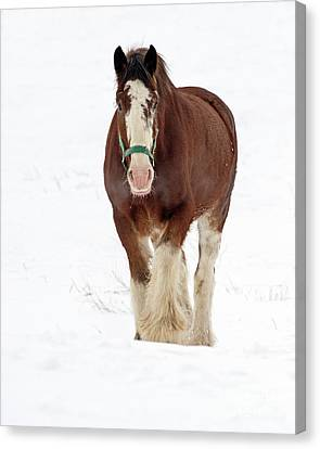 Canvas Print featuring the photograph Equus Caballus.. by Nina Stavlund