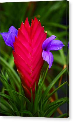 Bromeliad Canvas Print - Eruption by Melanie Moraga