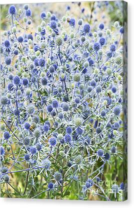 Spiny Canvas Print - Eryngium Tripartitum Flowers by Tim Gainey