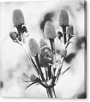 Eryngium #flower #flowers Canvas Print by John Edwards
