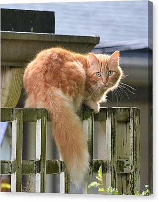 Escapee - The Orange Tabby Cat Canvas Print by rd Erickson