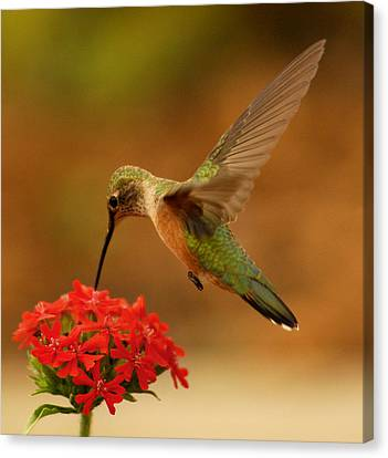 Estes Park Hummng Bird Canvas Print