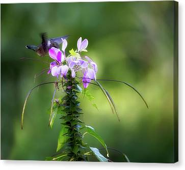 Ethereal Hummingbird Canvas Print