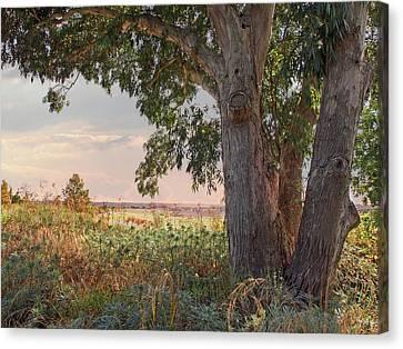 Eucalyptus Tree In Autumn Evening Light Canvas Print by Gill Billington
