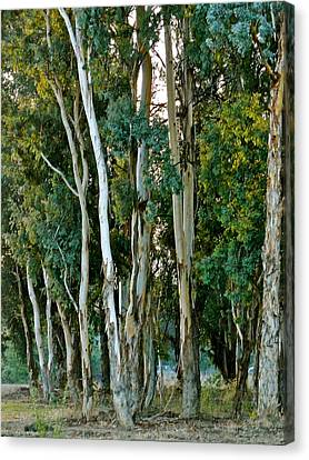 Eucalyptus Trees Canvas Print