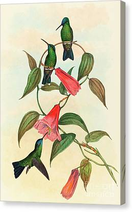 Eucephala Smaragdocaerulea  Gould's Wood Nymph Canvas Print by John Gould