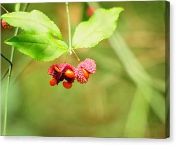 Euonymus Americanus  American Strawberry Bush Canvas Print