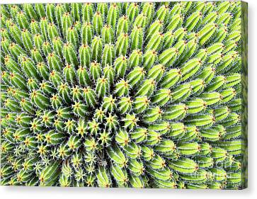 Euphorbia Canvas Print by Delphimages Photo Creations