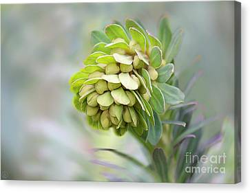 Canvas Print featuring the photograph Euphorbia by Linda Lees