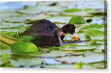 Eurasian Or Common Coot, Fulicula Atra, Duck And Duckling Canvas Print