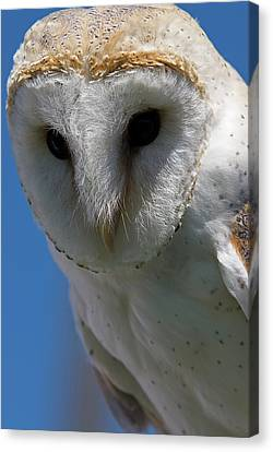 Canvas Print featuring the photograph European Barn Owl by JT Lewis