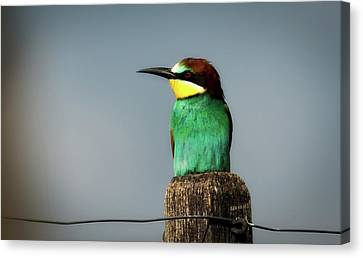 Canvas Print featuring the photograph European Bee Eater by Wolfgang Vogt
